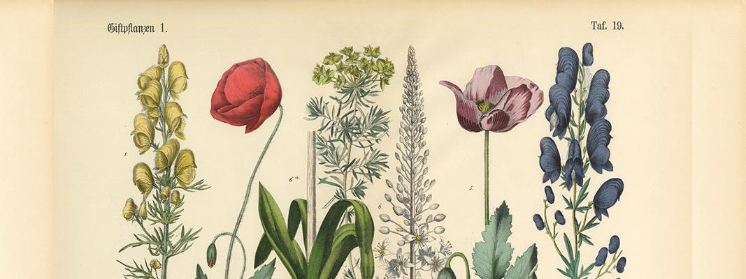 Vintage floral taxonomy illustration